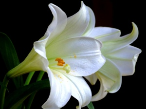 white-lily-flowers-wallpaper-purity